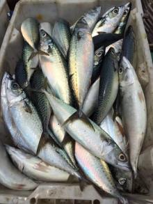 land frozen mackerel 500g+
