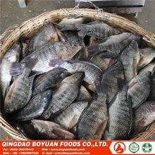 Best Quality Frozen Tilapia Whole Round Wholesale Price 500-800g