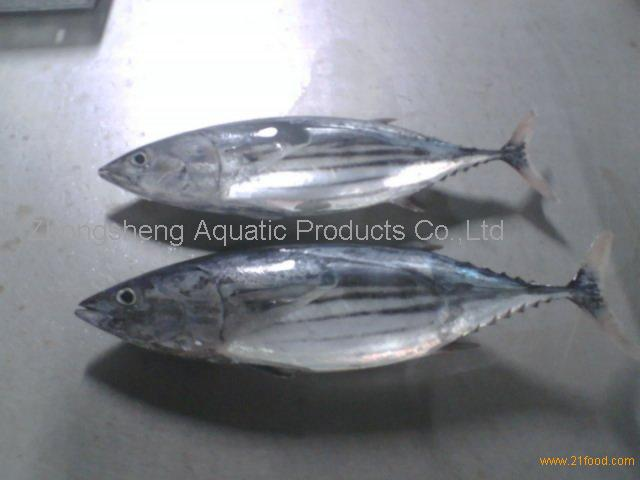 skipjack tuna whole