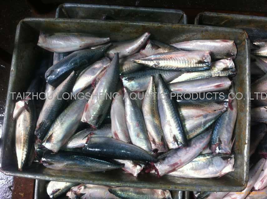 New coming Frozen mackerel HG(T)