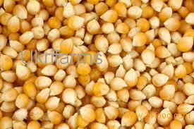 yellow corn , animal feed