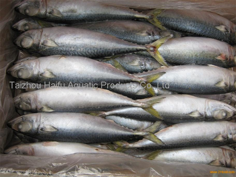 Healthy sea food Frozen pacific mackerel whole round