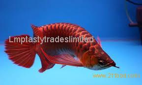 Super Red Arowana Fish, Golden Arowana Fish, Silver Arowana Fish