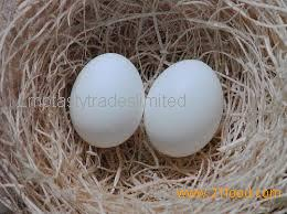 FERTILE PARROTS EGGS AVAILABLE