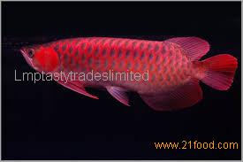 Best quality Super Red Arowana fish and many others fishes available in stock