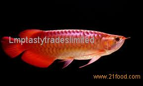Super Red Arowana fish and available in stock