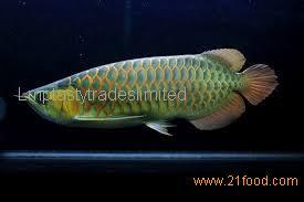 Beautiful Gold Arowana Fish