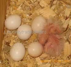 Rose breasted cockatoo parrots eggs for sale