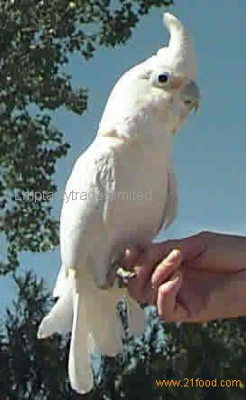 Goffin cockatoo parrots and Eggs for sale