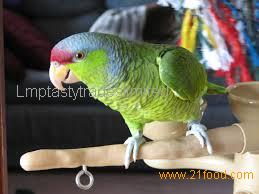 Blue crown amazon parrots and Eggs for sale