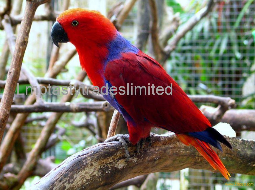 Electus redside island Eclectus parrots and Eggs for sale