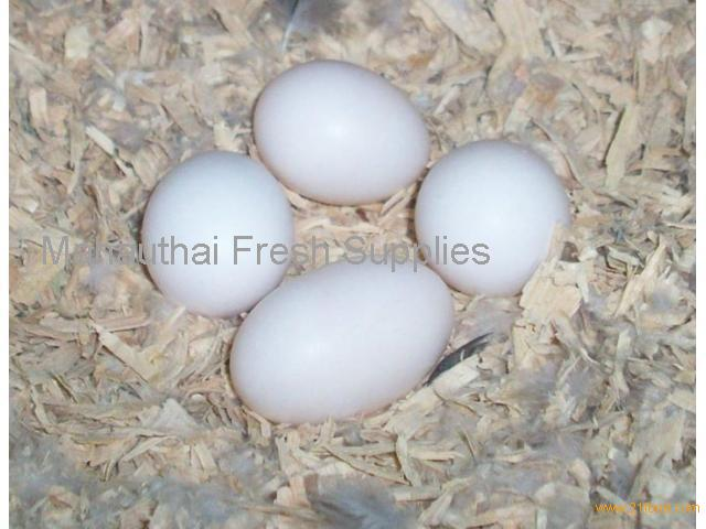Home Trained Parrots Birds and Eggs for Sale from Thailand
