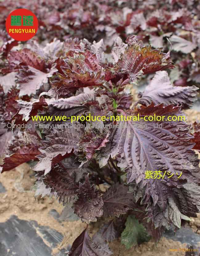 Perilla leaf extract natural red pigment