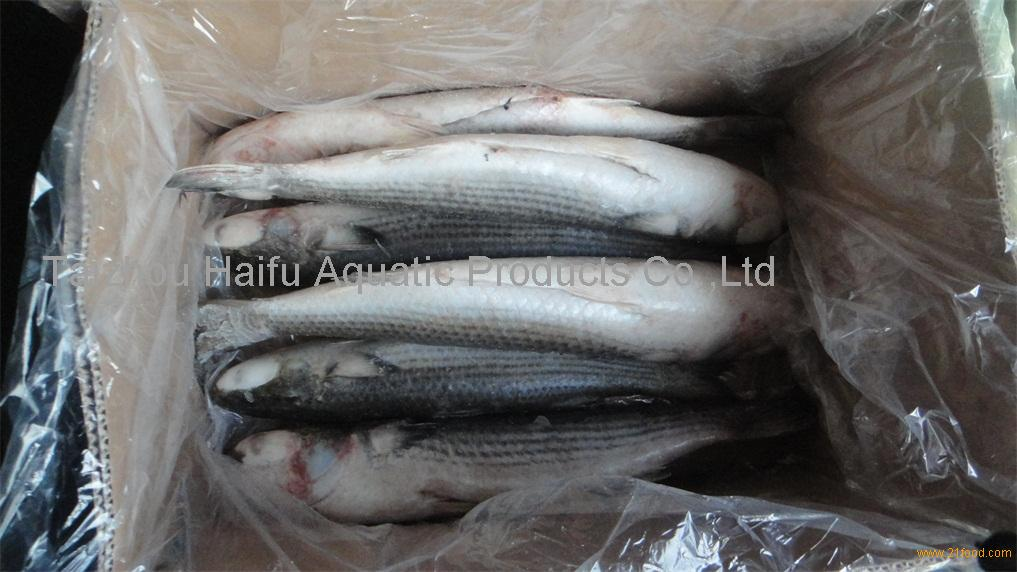 frozen grey mullet fish without roe for sale