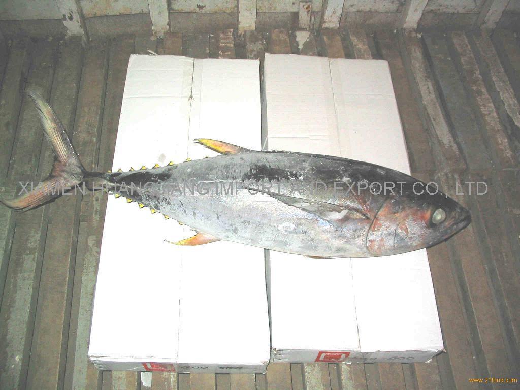 Yellow Fin Tuna Fish Whole Round
