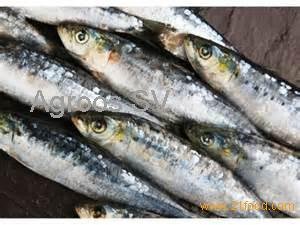 Frozen sardine for sale