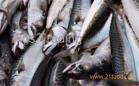 Top Grade Atlantic Mackerel Fish Scomber Scombrus Seafrozen Mackerel Fish