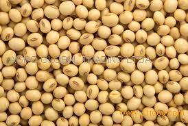 Non gmo yellow soybean for export