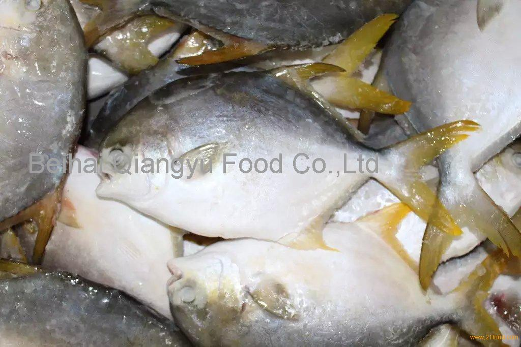 china fish farming golden pomfret/pompano