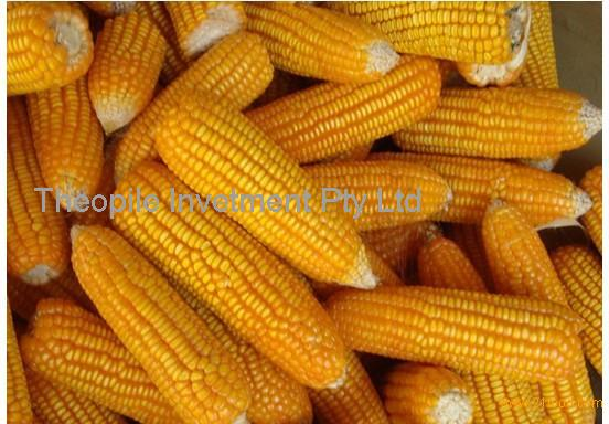 QUALITY YELLOW CORN / MAIZE FOR ANIMAL FEED