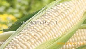 Best quality White Corn (Human Consumption - Grade 1