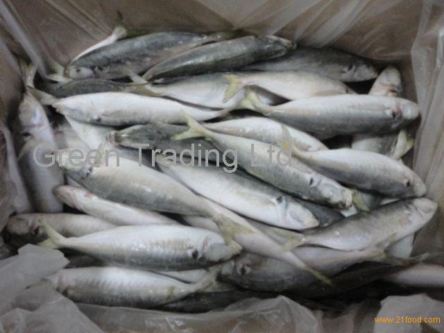 Fresh frozen horse mackerel fish whole round big eye scad for Does frozen fish go bad