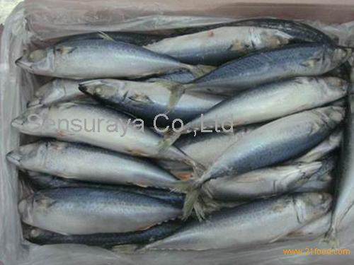 Frozen Fish Mackerel, Sardine Fish, Tilapia