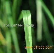 Pure vetiver oil/vetiver essential oil