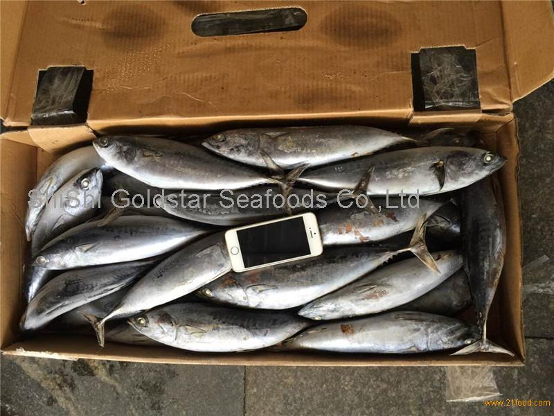 Frozen WR bonito WR bonito fish frigate mackerel for sale