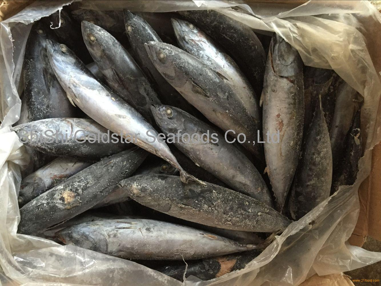 Fish bonito frozen fish bonito frigate tuna for africa market