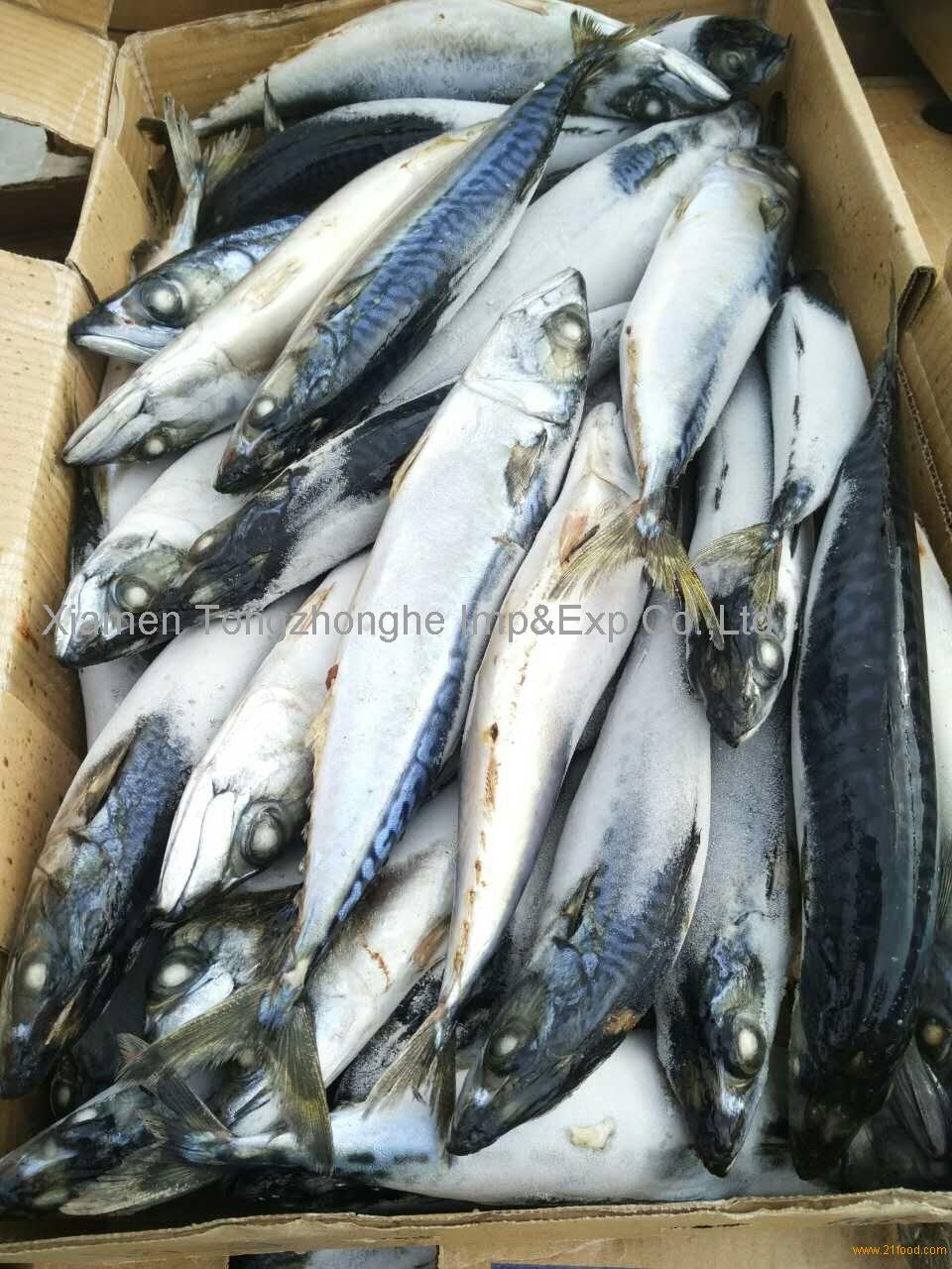 Sea frozen pacific mackerel