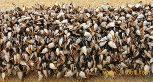 Percebes, Barnacles (Pollicipes cornucopia)