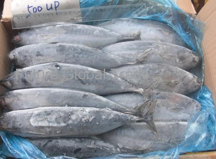 Frozen fish frozen bonito whole round products thailand for Best frozen fish