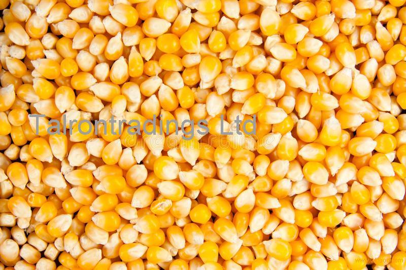 Dried Yellow Corn , Freeze Dried Sweet Corn , Corn for Animal feed