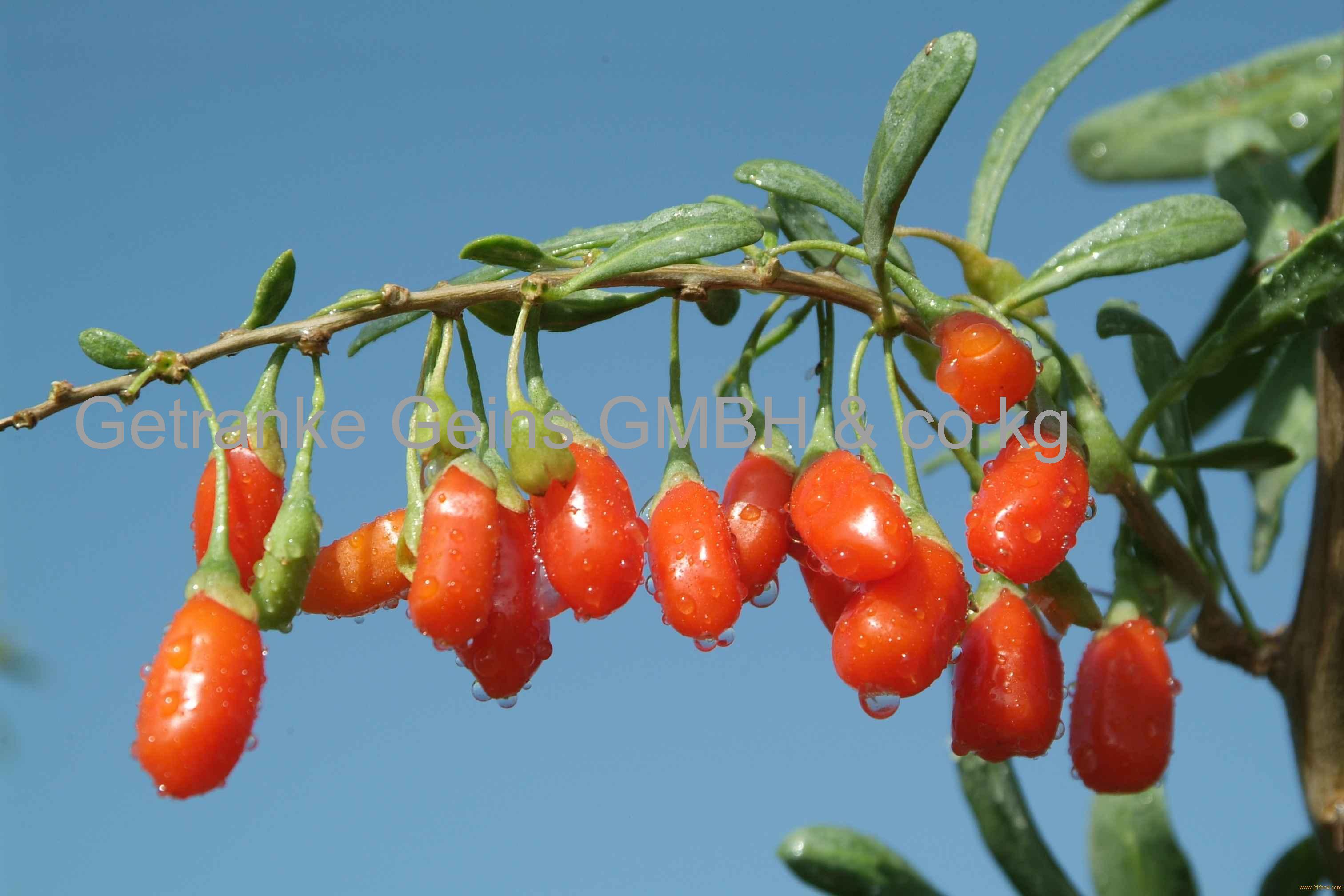 Goji Berry(Fresh, Dry, Juice, Powder)