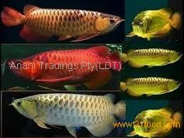 RED GOLDEN AROWANA FISH