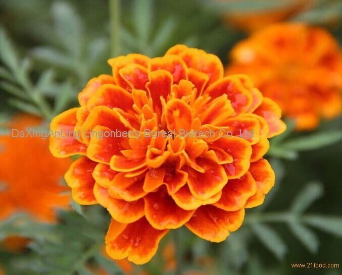 Marigold Extract Lutein 5%-80%