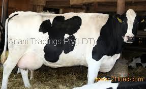 Aberdeen Angus, Holstein Heifer , Brahman , Limousin Dairy livestock cattle