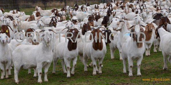 100% Full Blood Boer Goats For sale