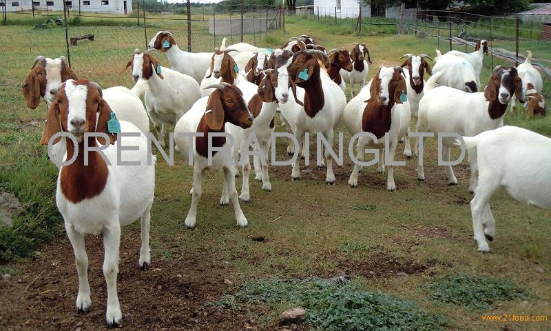 Full Breed Boer Goats,Holstein Heifers,Cows,Sheep