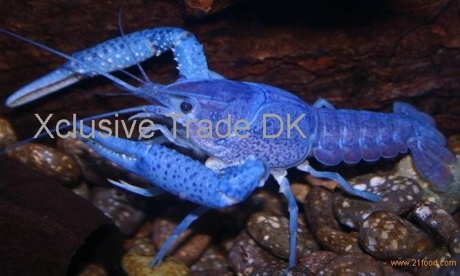 Bright Canadian Blue Lobsters/Live Blue Lobsters Wholesale/Live/Frozen and High Quality Blue Lobster