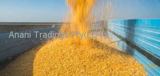 Best Quality Grade 1 Yellow Corn & White Corn/Maize for Human & Animal Feed at very good price.