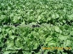 New listing fresh wholesale cabbage halal food for cabbage