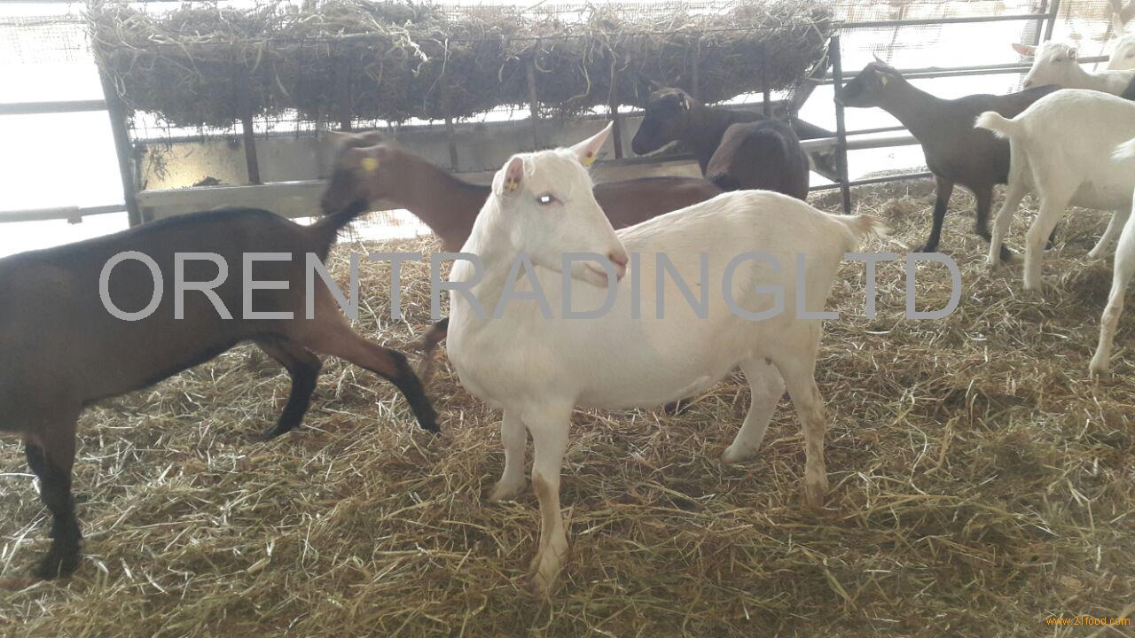 Dairy Saanen goats for sale