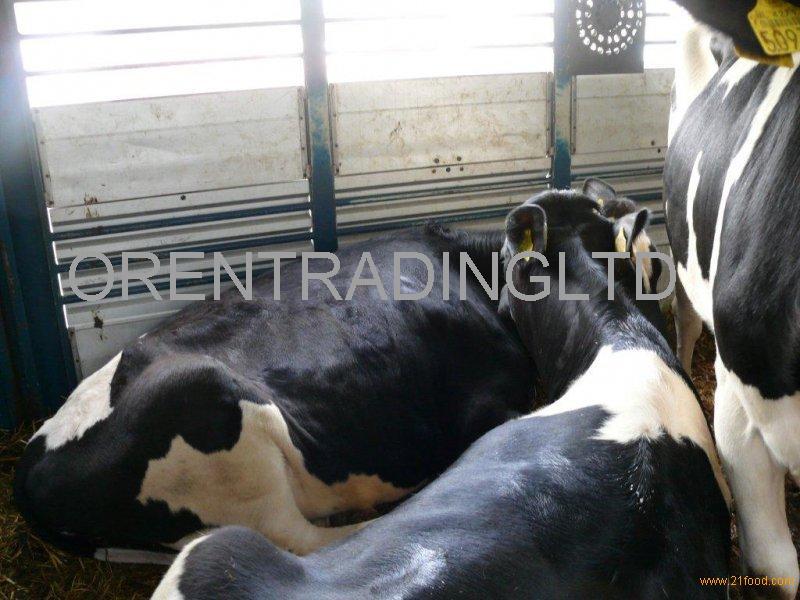 Pregnant Holstein heifers at good price