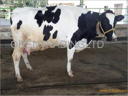 High yield holstein cows