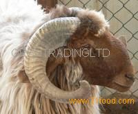 Live Awassi Sheep and Lambs
