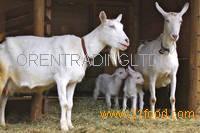 Healthy Saanen Goats