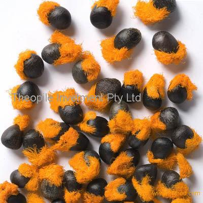 Strelitzia Reginae Seeds (Bird of Paradise, Crane Flower)