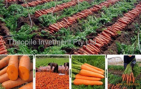 Fresh Carrots for Export
